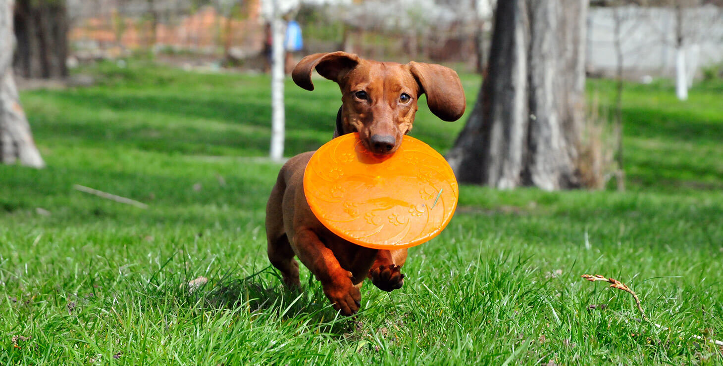 Small dog running with a Frisbee